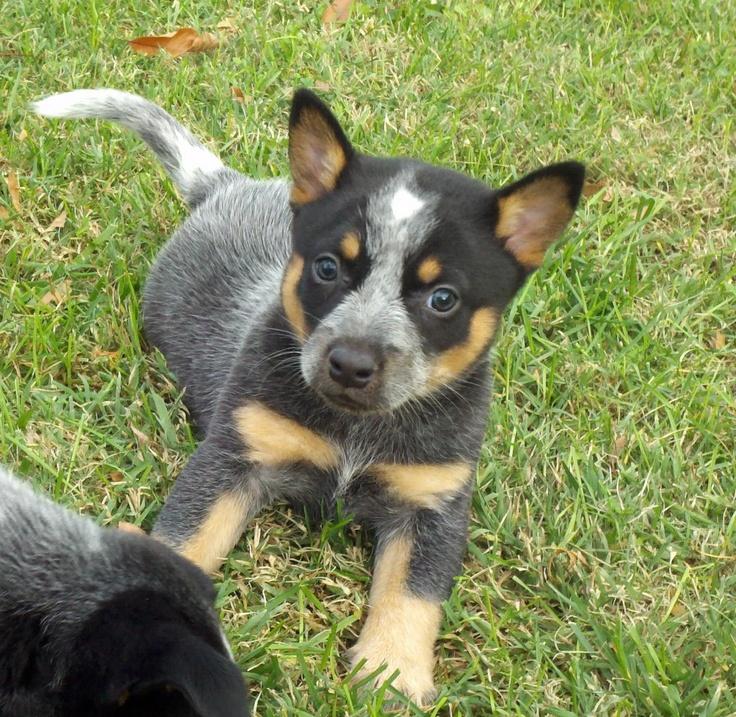 My Australian cattle dog aka blue heeler at 6 wks old. Love my Kora!