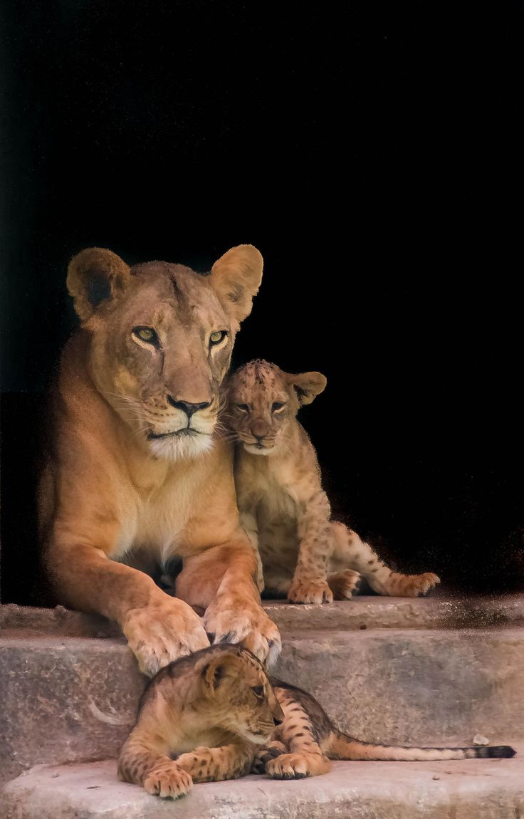 'Momma' beautiful mother and her two gorgeous lion cubs by julian john