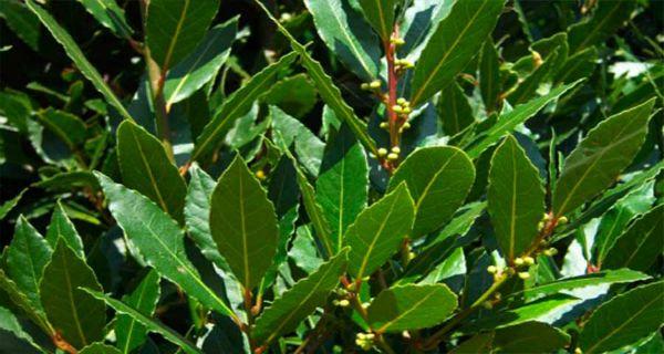 Keine Krampfadern, keine Gelenkschmerzen, keine Gedächtnisverluste und keine Kopfschmerzen mehr dank dieser Pflanze -
