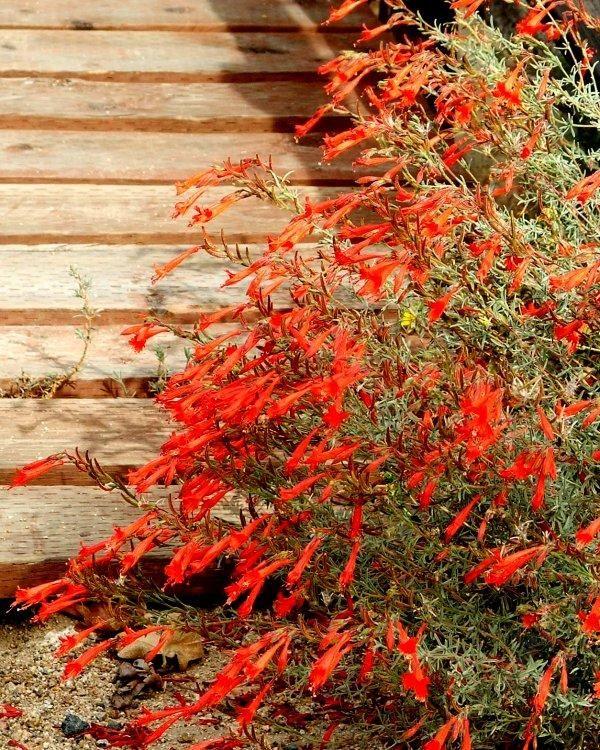 California Native Plant Landscape Design Examples: Fuchsias Images On Pinterest