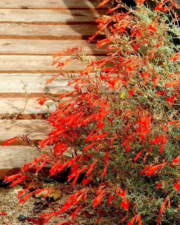 121 Best Flowers Fuchsias Images On Pinterest