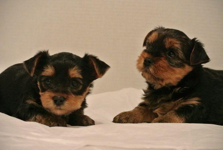 Five week old Yorkshire terrier Puppies