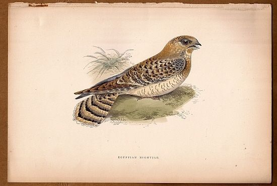 Egyptian Nightjar Bird -  Original c1860 Morris H/C Print