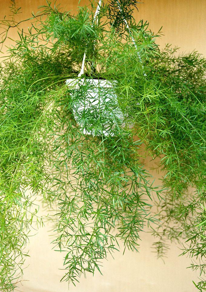 Asparagus (sprengeri): fiche d'identité, variétés, plantation, culture, entretien et maladies