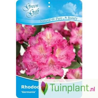 Rhododendron (Rhododendron 'Germania')