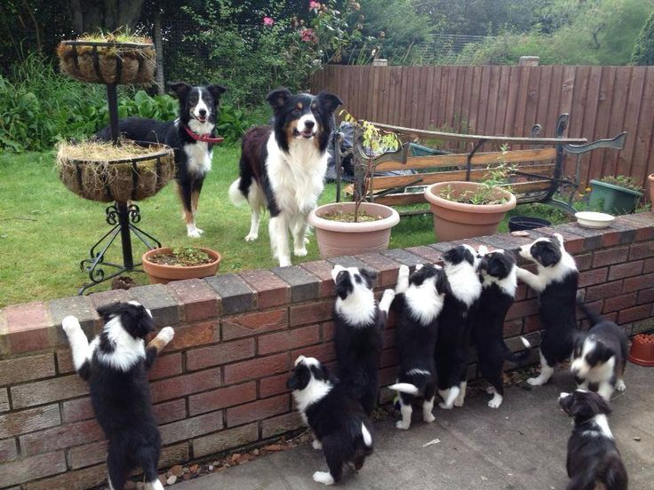 My father used to breed working Border Collies and the pups were just like this - heavenly!