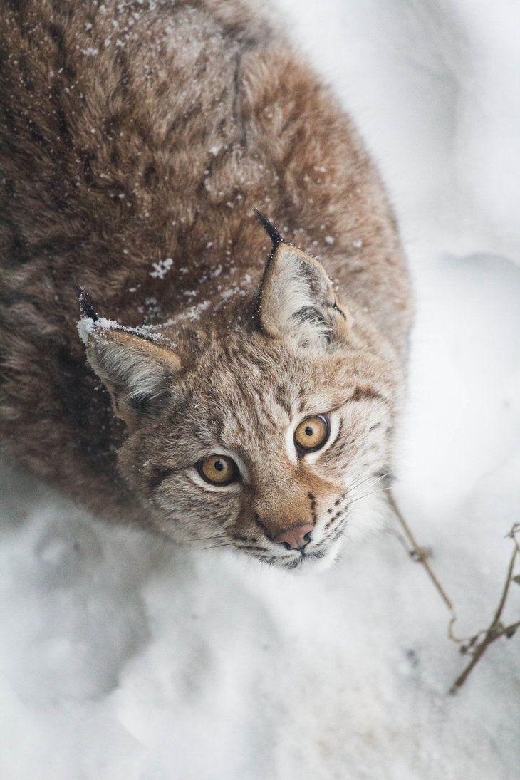 Winter Lynx Look by JRL5 on DeviantArt
