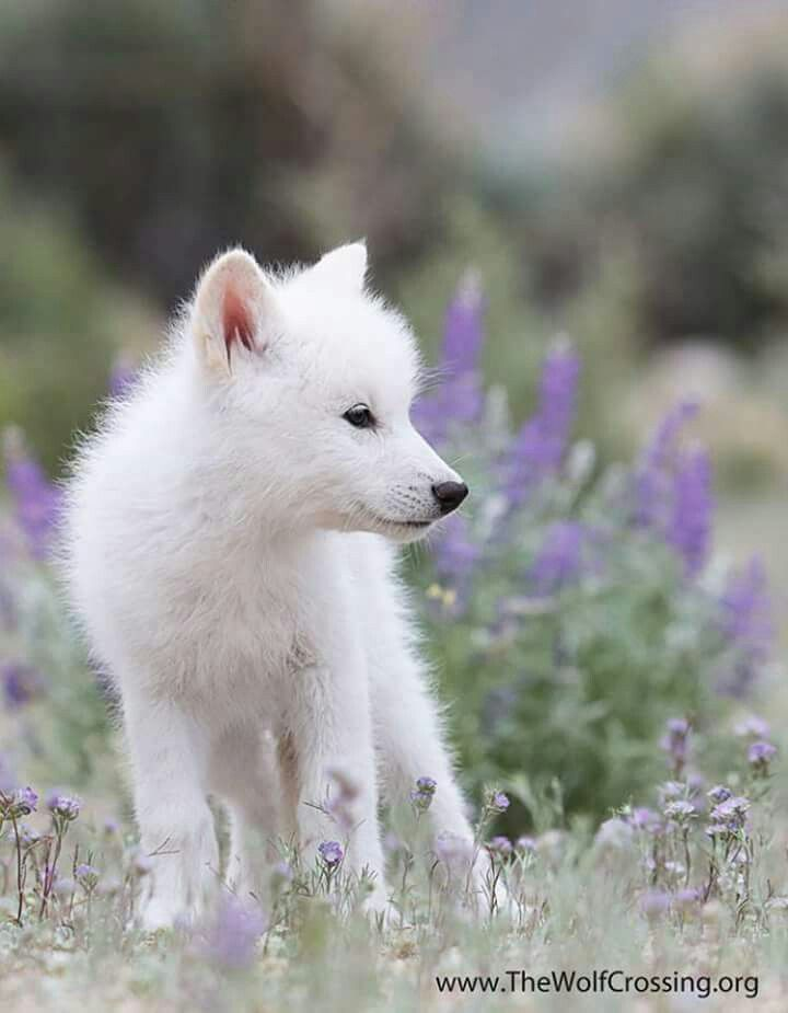 White Wolf Cub Wildlife Iii Baby Wolves Cute Animals