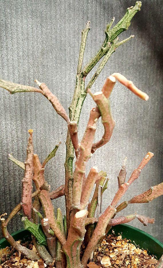 "Euphorbia platyclada, rare succulent from Madagascar, rare plant, cactus, zombie plant, endangered plant, 4"" pot"