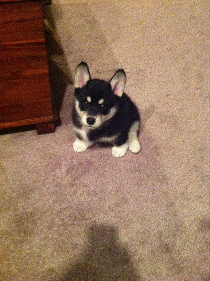 Meet Gadget! Siberian Husky/Welsh Corgi