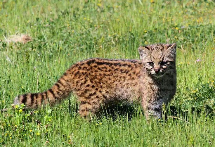 Gato - Chileno  (Leopardus- Guigna)