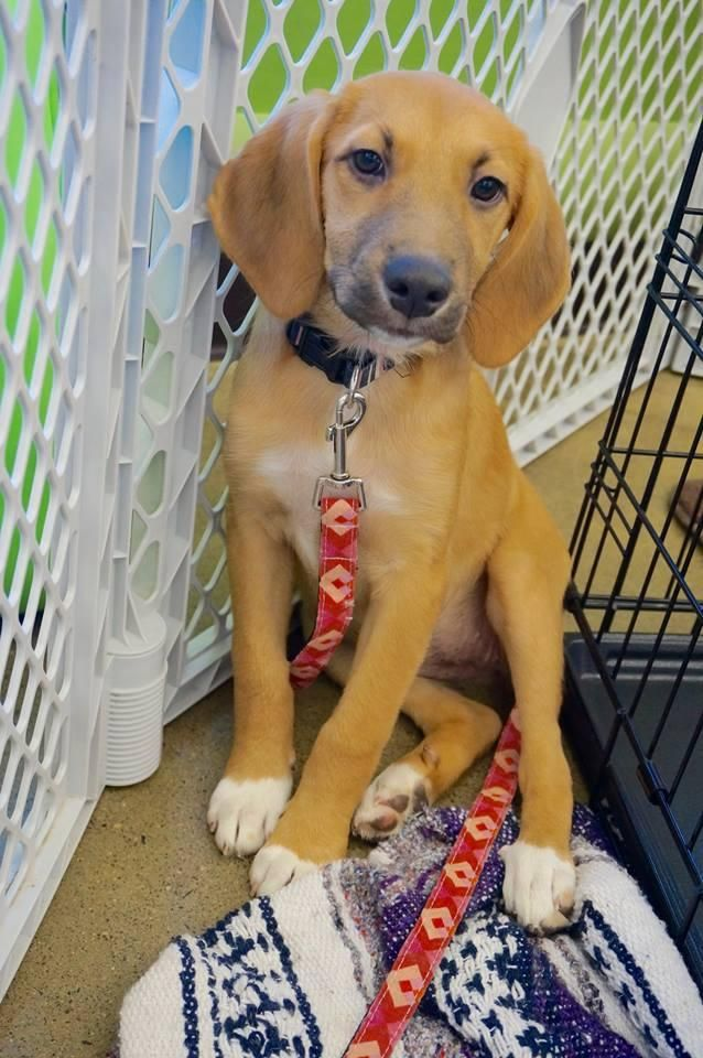 Trixie is an adoptable Beagle searching for a forever family near Albany, NY. Use Petfinder to find adoptable pets in your area.