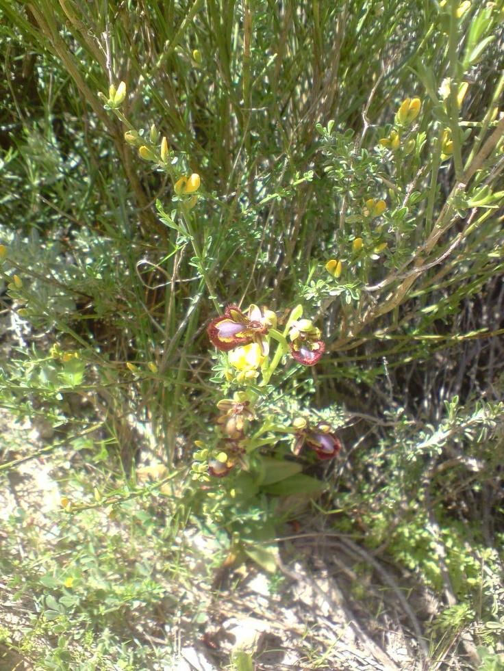 Orquidea flor de abeja