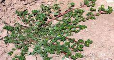 Nunca arranques esta planta si aparece en el patio de tu hogar. Este es el motivo.