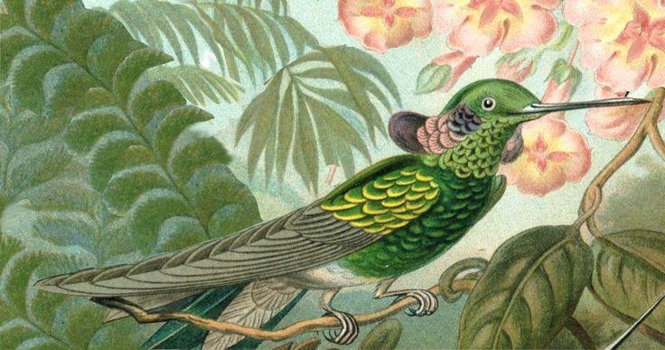 File:Haeckel - Colibri serrirostris.jpg
