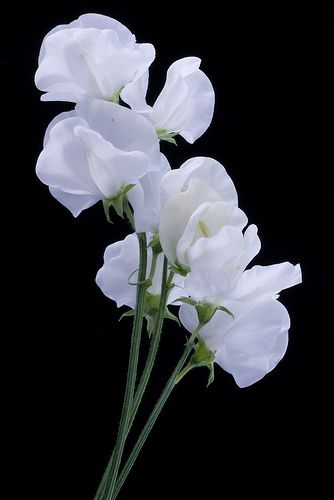 Google Image Result for http://blossomsbythebaycapecod.com/yahoo_site_admin/assets/images/white_sweet_pea.259135323_large.jpg    White sweet peas, in season Dec.-May