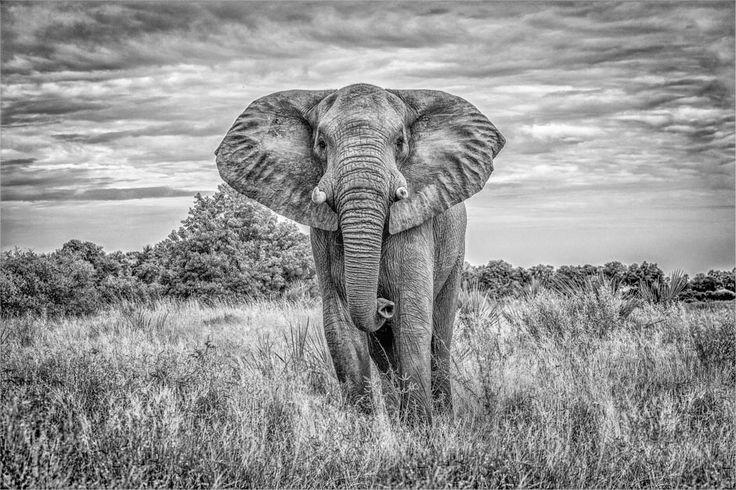 B&W wall art image of a bull elephant by wildlife photographer Dave Hamman