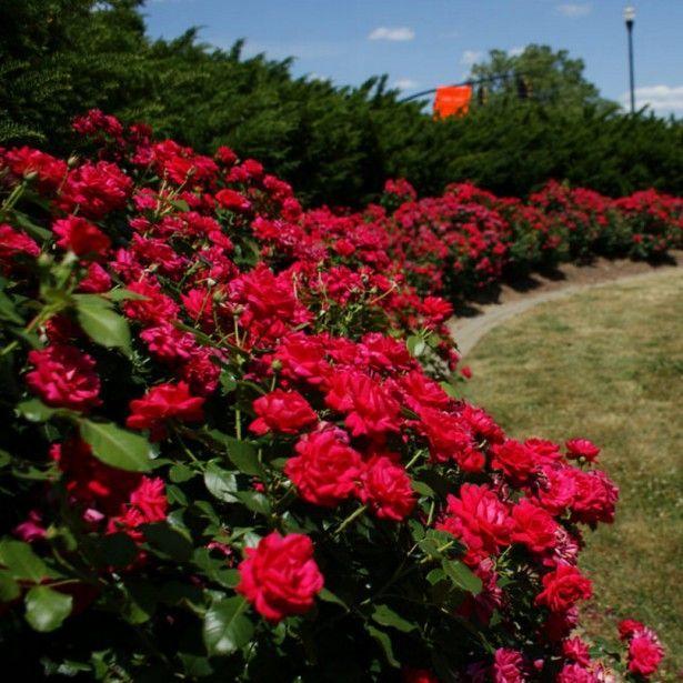 les 25 meilleures id es de la cat gorie rosier couvre sol sur pinterest roses couvre sol. Black Bedroom Furniture Sets. Home Design Ideas