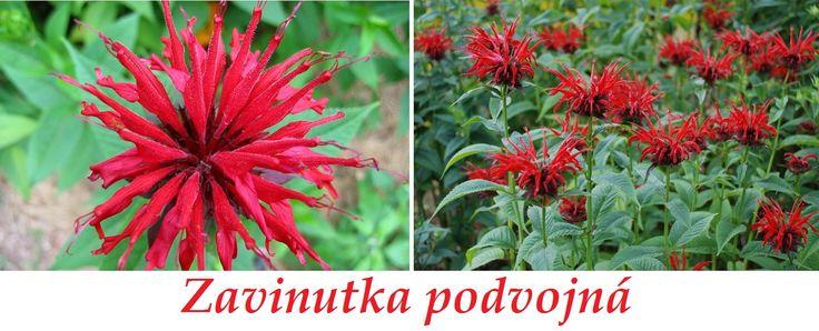 http://www.bylinkyprovsechny.cz/byliny-kere-stromy/byliny/235-zavinutka-ucinky-na-zdravi-co-leci-pouziti-uzivani-vyuziti