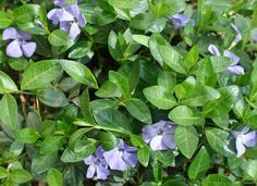 Vinca Minor: The dainty purple flowers and evergreen leaves on this vine makes it one of the most popular ground covers in residential and commercial landscaping.