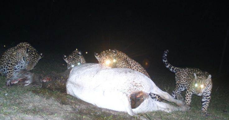 Onças-pintadas devoram vaca a 1 km de sede de pousada no Pantanal