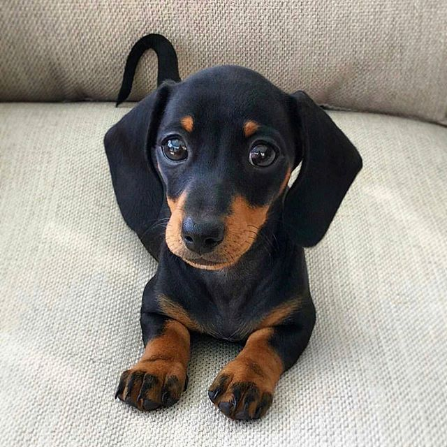 Best Dachshund Daschund Puppies Cute Baby Animals Puppies