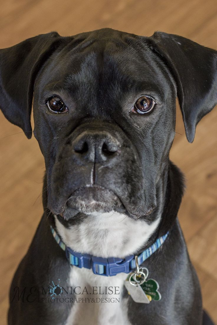 Duke is fantastic.  He is a beautiful black Boxer that turns heads wherever he goes.  He is only one year old and is already so well behaved.  As with all Boxers, he needs a confident, experienced but loving leader.  He listens extremely well, knows...