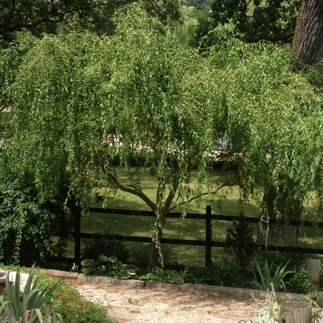 Curly Willow Tree Trees Pinterest