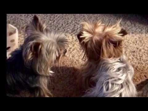 """Yorkie's React to Pete Burns Song Moves to """"You Spin Me Right Round Baby"""" - YouTube @tinypause1"""