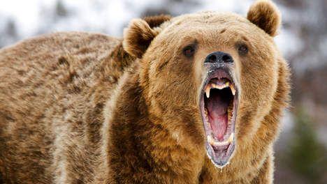 Roemenen vragen Nederlander om advies in strijd tegen bruine beren - Buitenland - TROUW