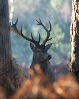 Deer at Ornamental Drive