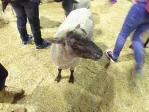 餵小羊@EKKA
