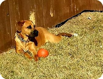 Pictures of Zoe a Mastiff/Boxer Mix for adoption in Denton, TX who needs a loving home.