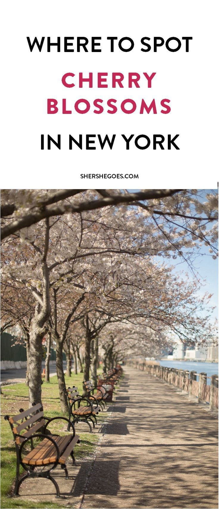 where to find cherry blossoms in new york, cherry blossom season in nyc, where to see cherry blossoms in nyc, Cherry Blossoms on New York's Roosevelt Island, cherry blossom season, best cherry blossom views