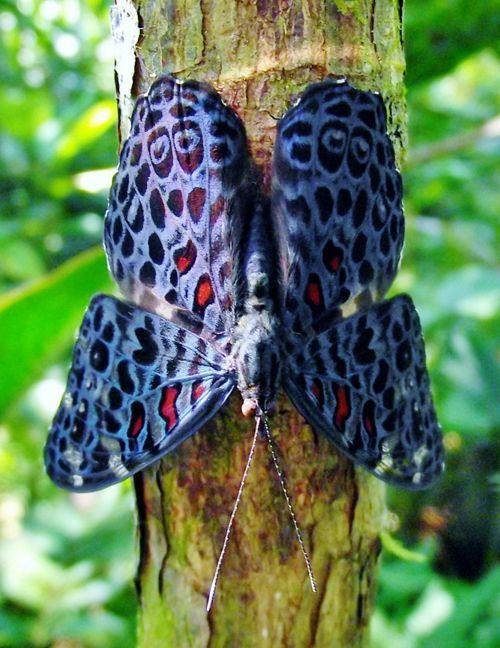 """Género Hamadryas , del Amazonas , adquirieron su nombre común de """"mariposas galleta """", debido a lo inusual """" cracking """" el sonido producido por los machos como parte de sus exhibiciones territoriales ."""