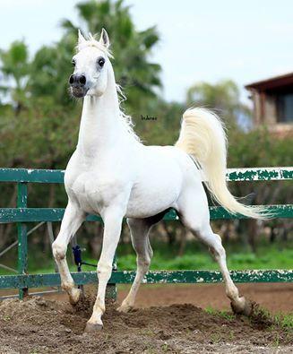 Great Photo!!! ANSATA EMIR SINAN (Ansata Sinan x Ansata Nefri) Strait Egyprian Stallions - Fontanella Magica Arabians
