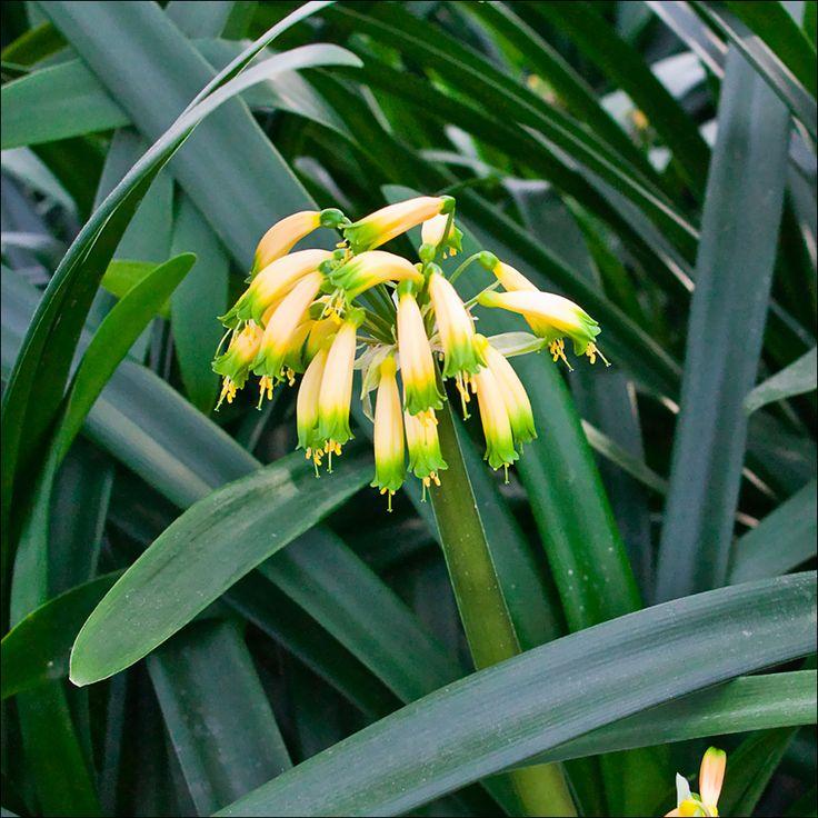 Clivia gardenii, Pink 9.  Colorado Clivia plant number 626.