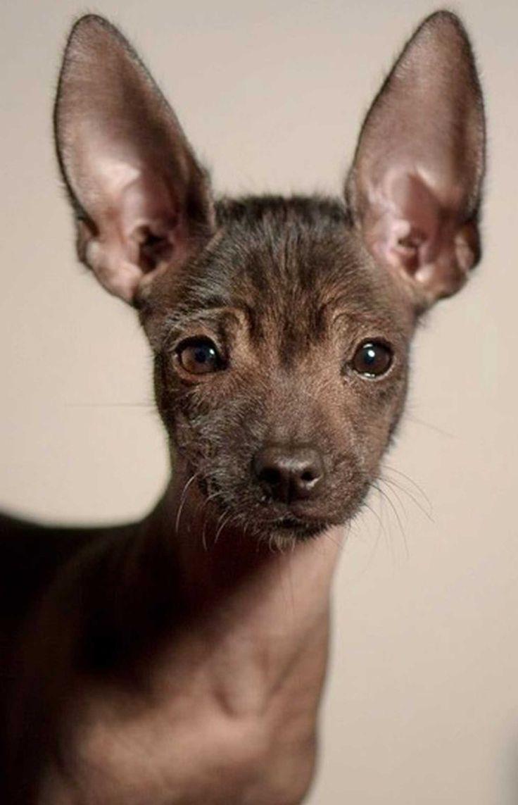 Risultati immagini per cute mexican hairless dog
