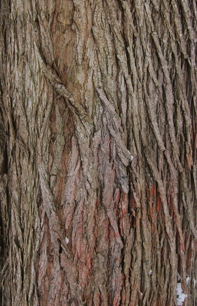 Oak Tree Texture Stretched Canvas