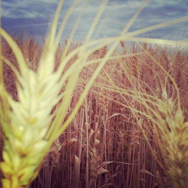 Campo di grano #montecchioemilia