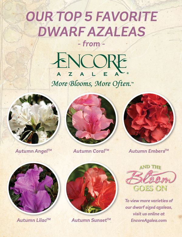 Our Top 5 Favorite Dwarf Azaleas | Encore® Azalea: The world's best-selling multi-season blooming azalea