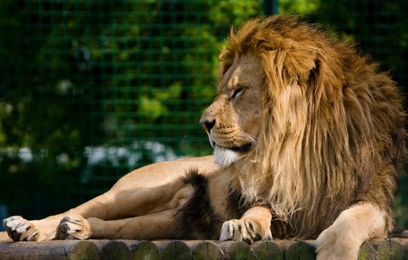 Обои картинки фото лев, морда, грива, хищник, отдых