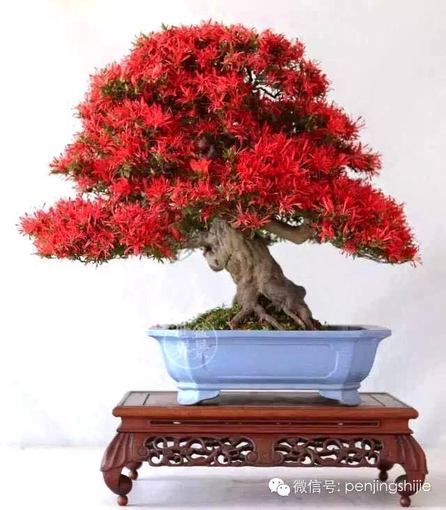 Photo by Ming Ty Beautiful Satsuki Azalea Bonsai #bonsai