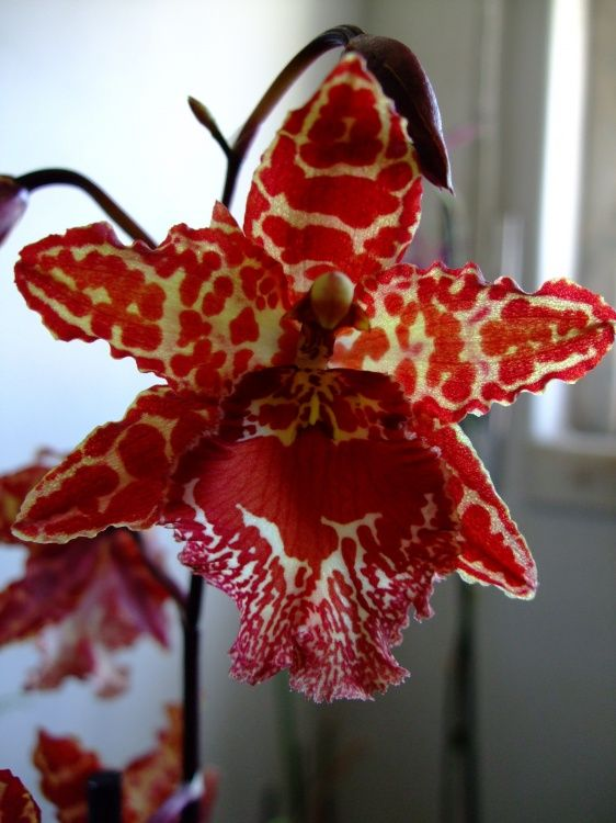 orquídeas raras do Brasil fotos - Pesquisa Google