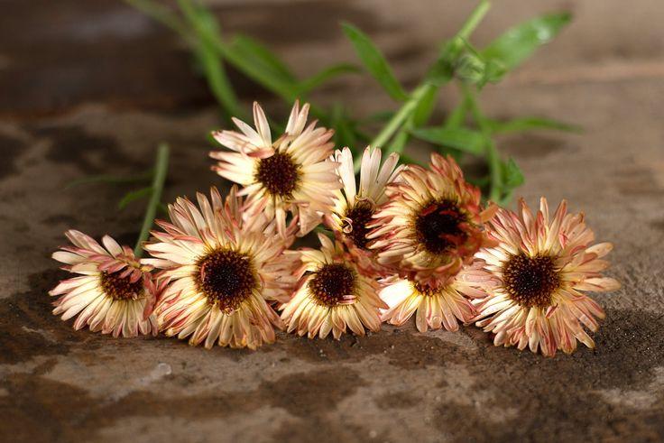 Sunset Buff Calendula - Pinetree Garden Seeds - Flowers
