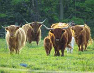 If I were to ever have a farm --or when the family land becomes mine-- I want to raise Highlanders. They are absolutely gorgeous. <3