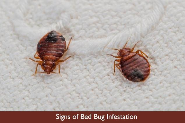 Signs of Bed Bug Infestation