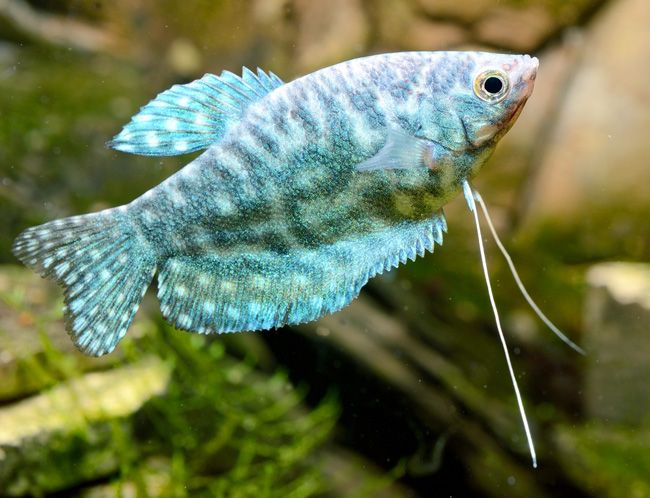 Opaline Gourami Fishtrichogaster Trichopterus Cosby For Sale Azgardens Fish Fish Pet Opaline