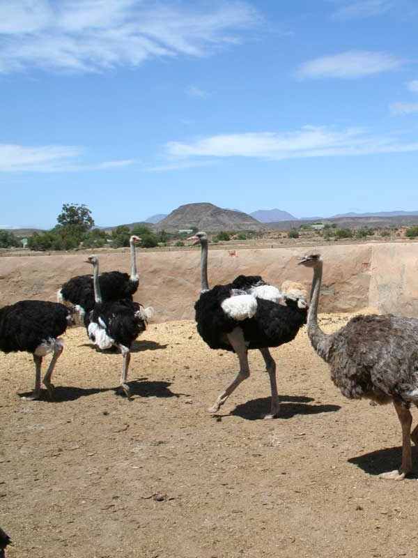 Oudtshoorn - The towns of Oudtshoorn and De Rust are in the Klein Karoo between the Swartberg and Outeniqua mountains. Oudtshoorn is the ostrich capital of the world. The world's biggest bird is just one of the many attractions in this area of exceptional contrasts and natural beauty.