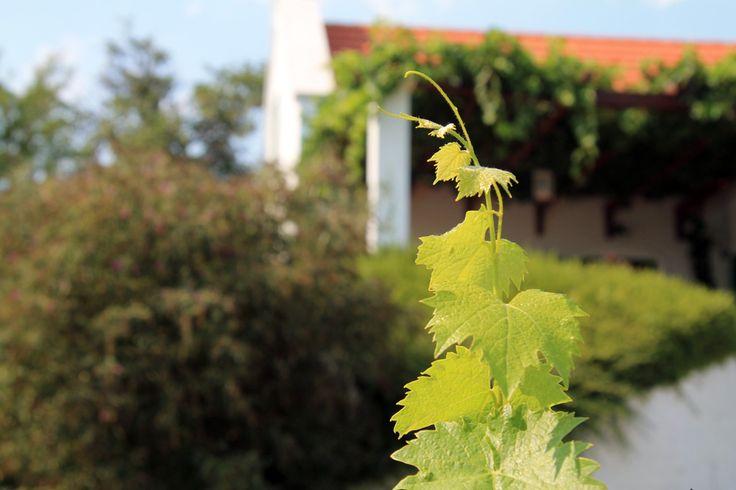 2HA Szent György hegy #balaton #wine #hungary